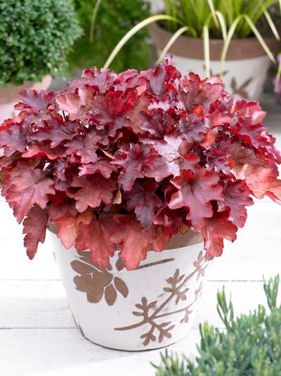 heuchera micrantha 39 peach flamb 39 purpurgl ckchen g nstig beim stauden spezialisten kaufen. Black Bedroom Furniture Sets. Home Design Ideas