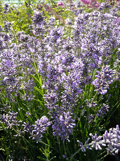 lavandula angustifolia 39 silver blue 39 echter lavendel g nstig beim stauden spezialisten kaufen. Black Bedroom Furniture Sets. Home Design Ideas