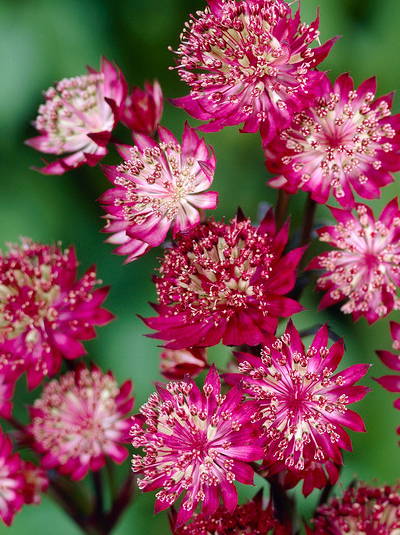 astrantia major 39 moulin rouge 39 gro e sterndolde. Black Bedroom Furniture Sets. Home Design Ideas
