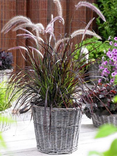 pennisetum setaceum 39 summer samba 39 lampenputzergras g nstig beim stauden spezialisten kaufen. Black Bedroom Furniture Sets. Home Design Ideas