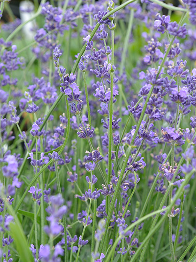 lavandula angustifolia 39 peter pan 39 garten lavendel g nstig kaufen. Black Bedroom Furniture Sets. Home Design Ideas