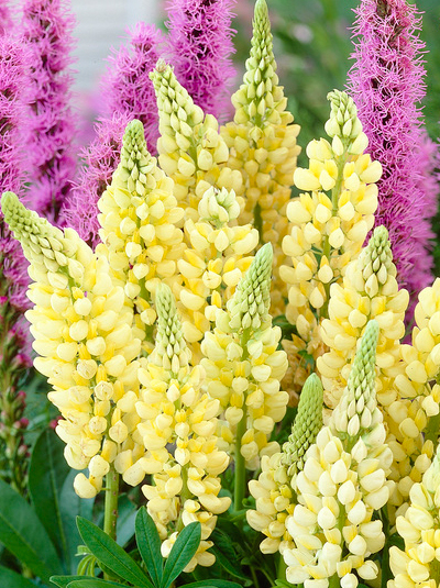 Lupinus-Gallery-Yellow_bleute