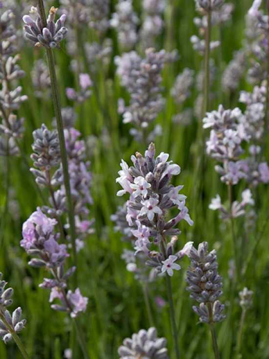 lavandula angustifolia 39 miss katherine 39 garten lavendel g nstig kaufen. Black Bedroom Furniture Sets. Home Design Ideas