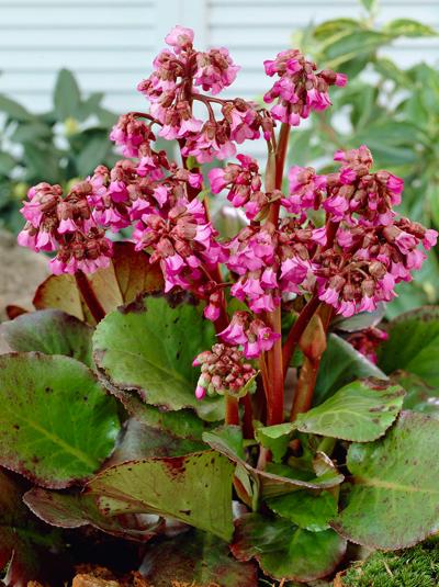 bergenia cordifolia 39 purpurea 39 wickelwurz g nstig beim stauden spezialisten kaufen. Black Bedroom Furniture Sets. Home Design Ideas