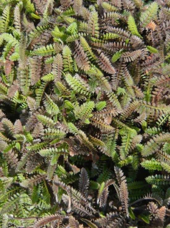 Leptinella Potentillina Feines Fiederpolster Gunstig Kaufen