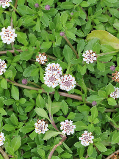 Phyla Nodiflora Summer Pearls Teppichverbene Gunstig Kaufen