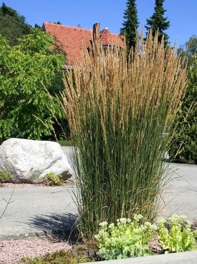 calamagrostis acutiflora 39 karl f rster 39 f rsters garten reitgras f rsters sandrohr g nstig. Black Bedroom Furniture Sets. Home Design Ideas