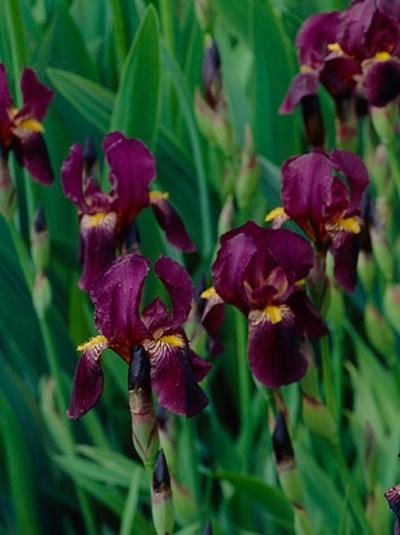 iris barbata elatior 39 red orchid 39 hohe bart schwertlilie g nstig beim stauden spezialisten kaufen. Black Bedroom Furniture Sets. Home Design Ideas