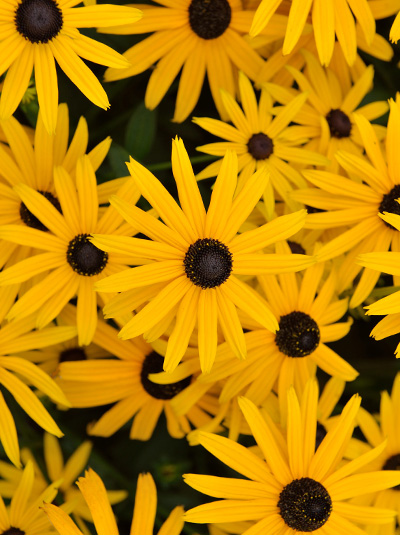 Rudbeckia-fulgida-Early-Bird-Gold