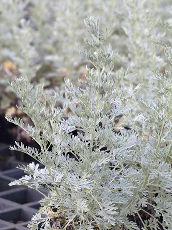 artemisia absinthium 39 lambrook silver 39 zier wermut silbriger garten wermut g nstig kaufen. Black Bedroom Furniture Sets. Home Design Ideas