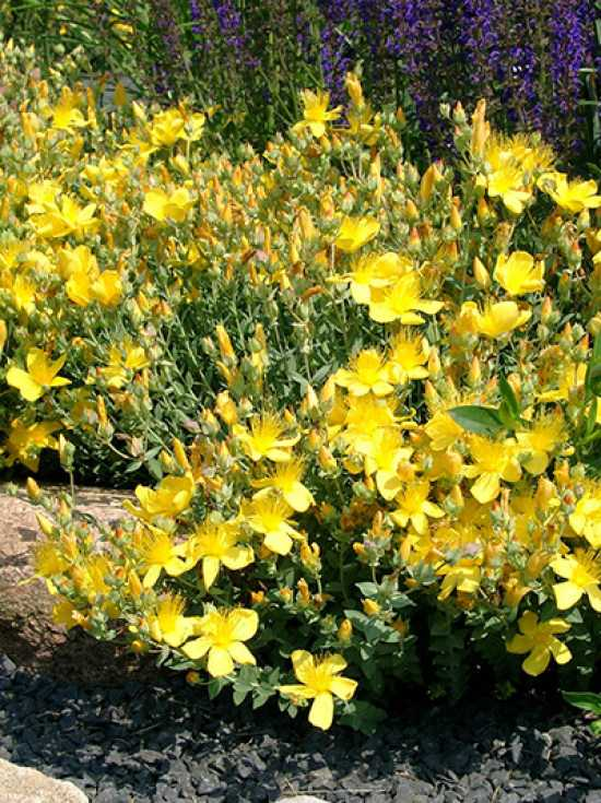 hypericum polyphyllum 39 grandiflorum 39 garten polster. Black Bedroom Furniture Sets. Home Design Ideas