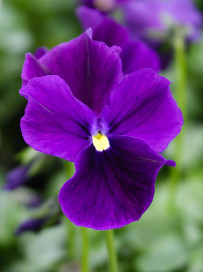 Violette heartthrop-Viola cultorum