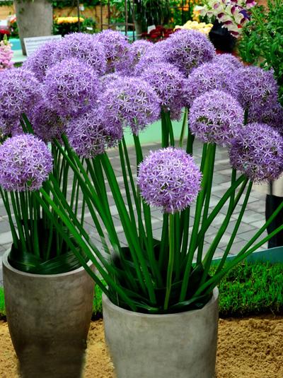 Allium-Globemaster_2