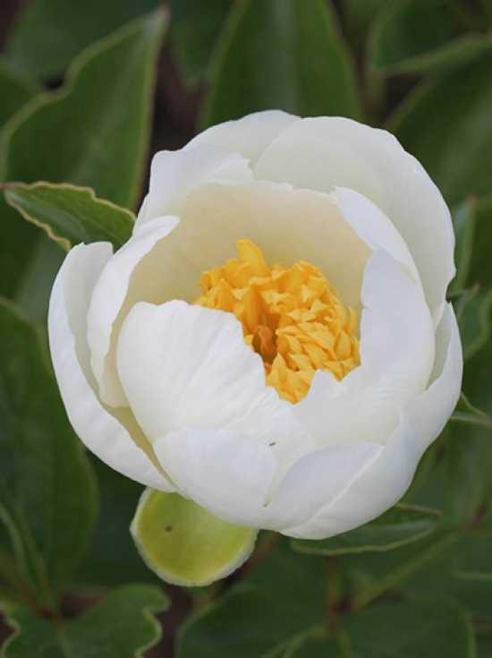 Clematis integrifolia Waldrebe Gletschereis   zahlreiche Blüten   winterfest